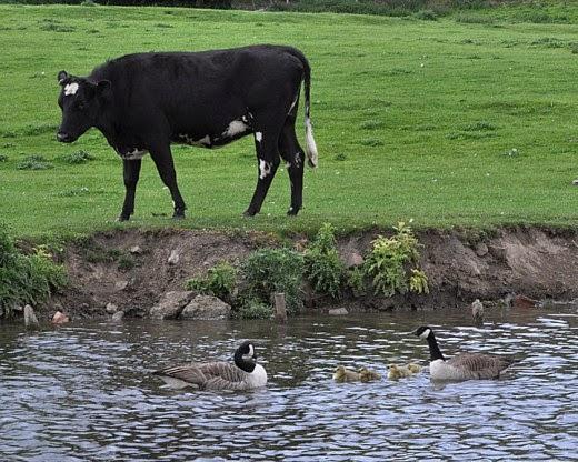 cow, Canada geese, goslings