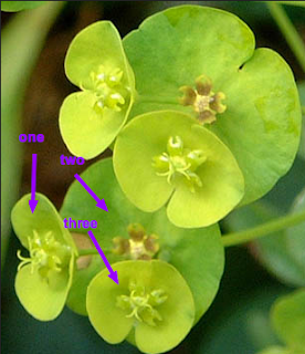 Woodspurge has three little cups, which you can see if you are close up