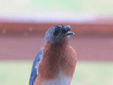Bluebird after a heavy rain