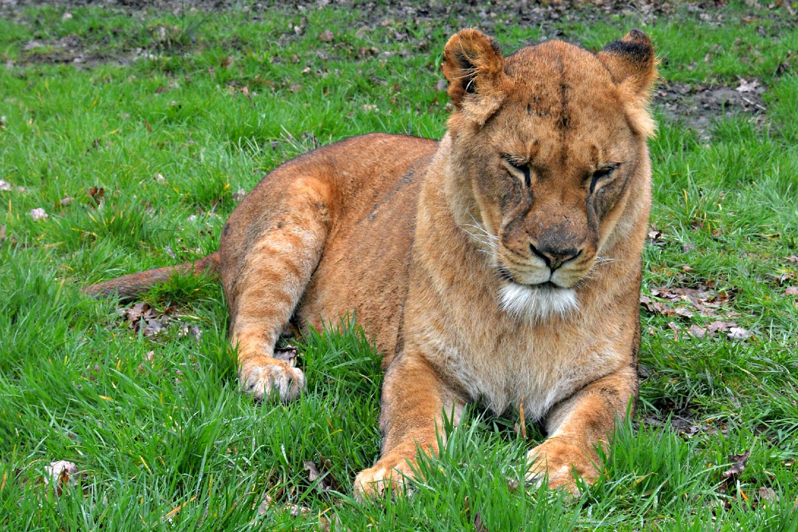 Knowsley Safari Park Lions