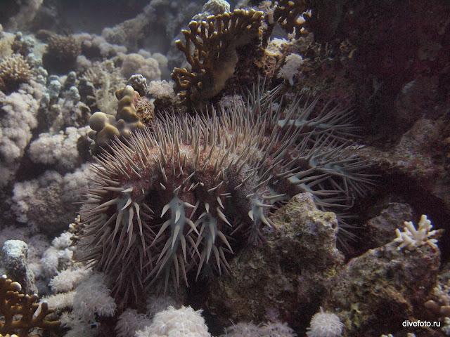 Морская звезда Терновый венец фото