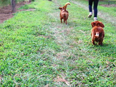 running dachshunds