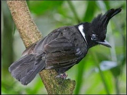 Gambar Cara Merawat Burung Cililin