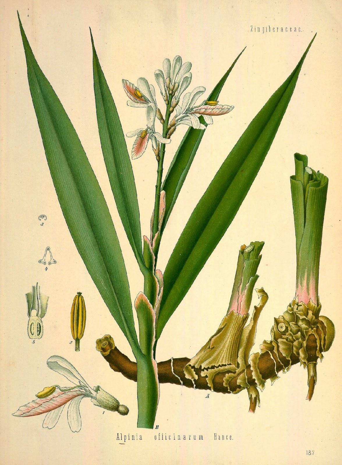 galanga plants
