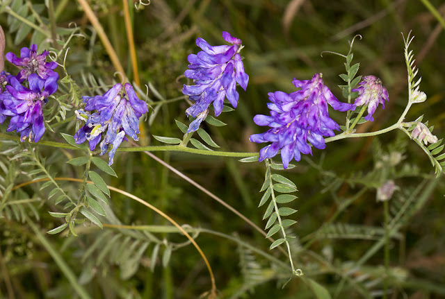 Tufted Vetch, Vicia cracca.  Hutchinson's Bank, 29 July 2015.