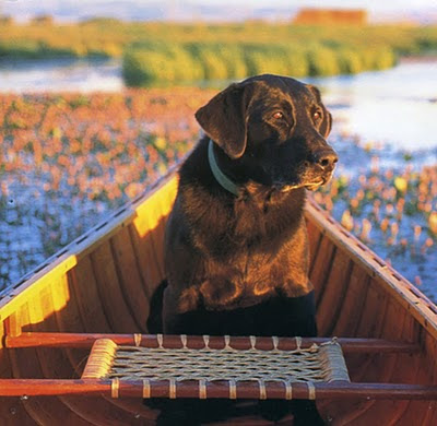 chocolate lab in canoe large beauty