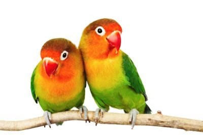 Pareja de aves enamoradas - Aves exóticas del paraíso
