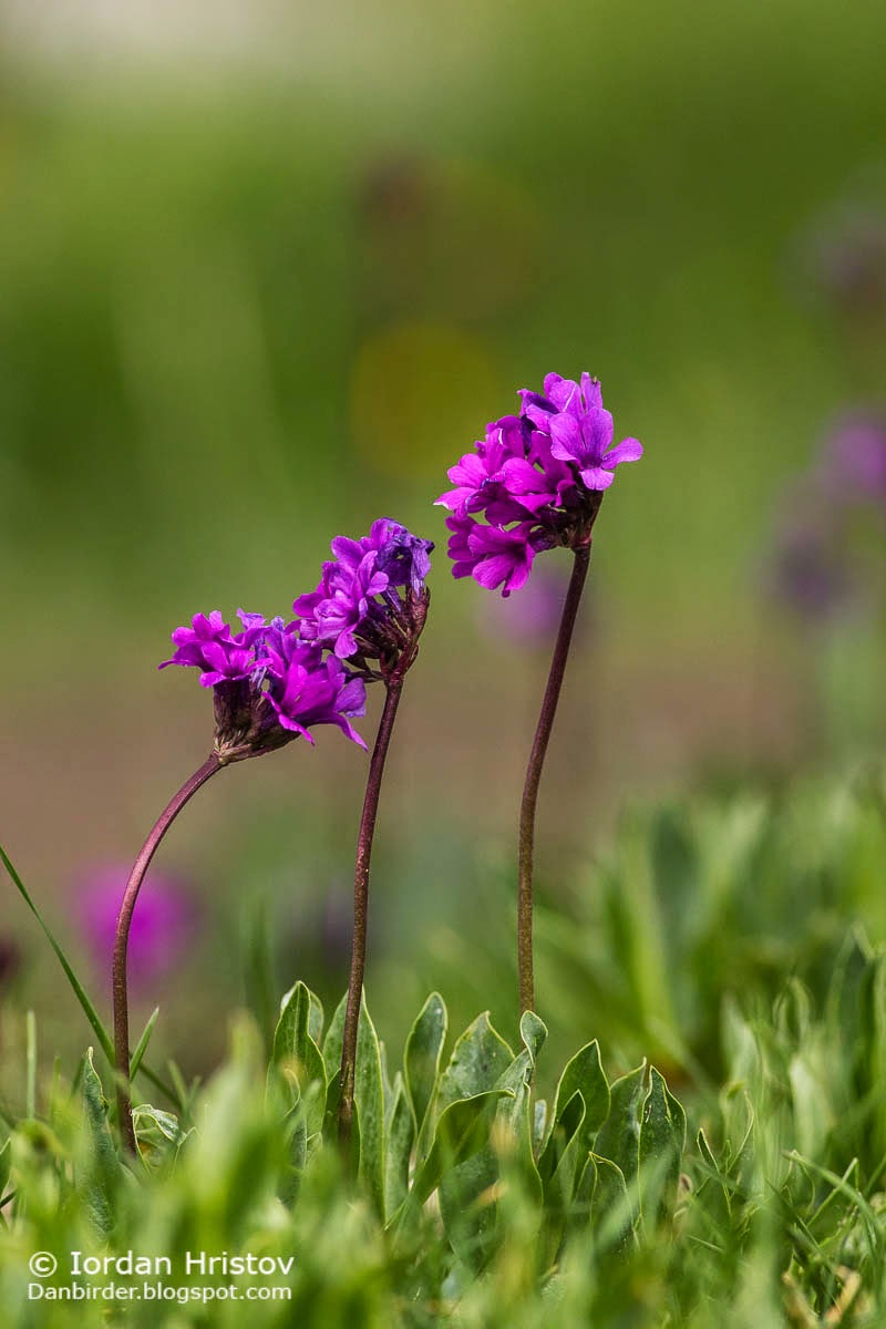 Rila Primrose Primula deorum photography