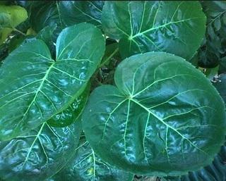 Berbagai Manfaat Daun Mangkokan Untuk Campuran Obat Herbal