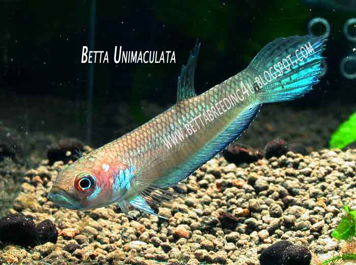 All about betta fish wild type betta unimaculata for All about fish