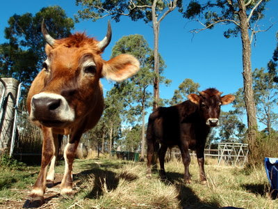 eight acres: update on cow and cattle posts for 2015