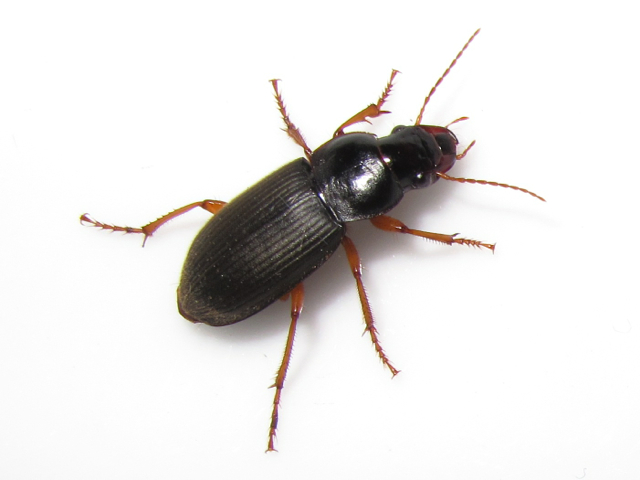 Common House Beetles | www.imgarcade.com - Online Image ...