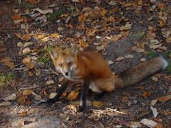 Smart as a Fox