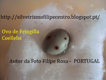 OVO DE FRINGILLA COELEBS ( TENTILHÃO )