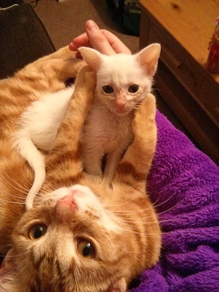 Ginger cat and white kitten