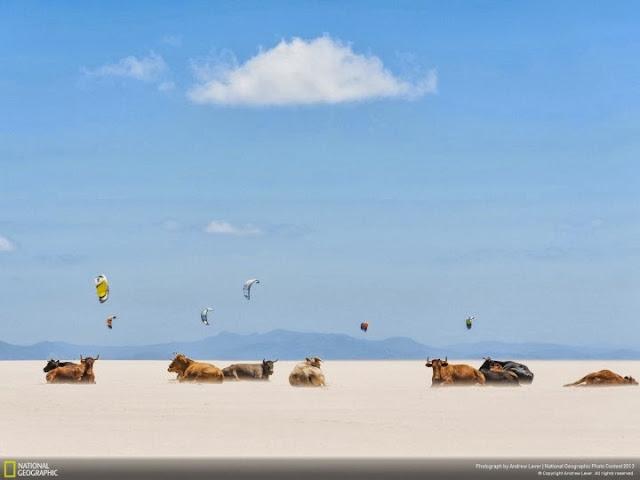 قطيع من الثيران على أحد الشواطئ الخاوية. تصوير | أندرو ليفر