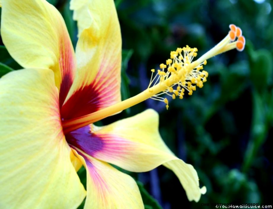 Hawaiian Flowers Desktop Wallpaper 50559  WEBNODE