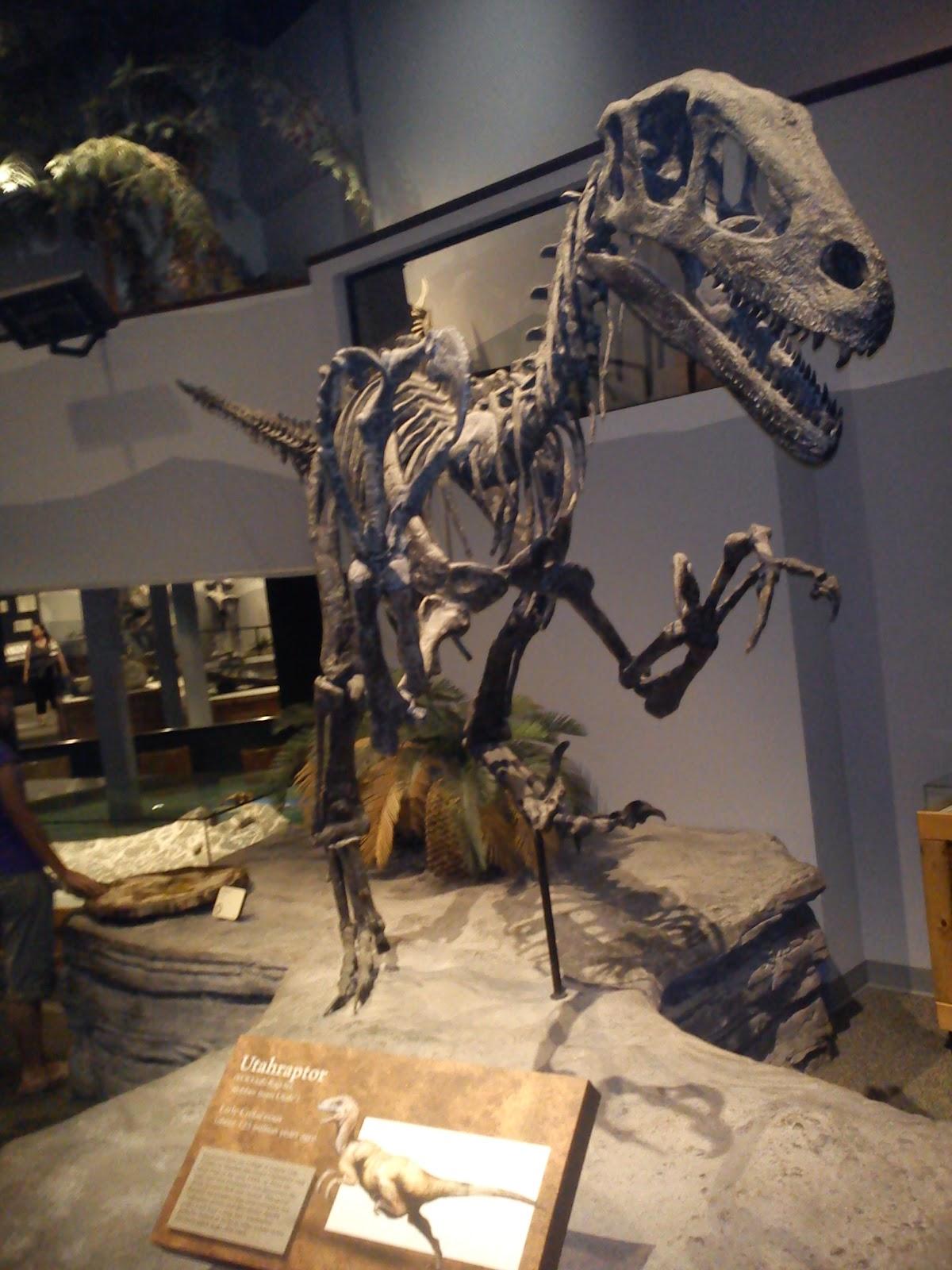 Utahraptor Skeleton UtahraptorUtahraptor Skeleton