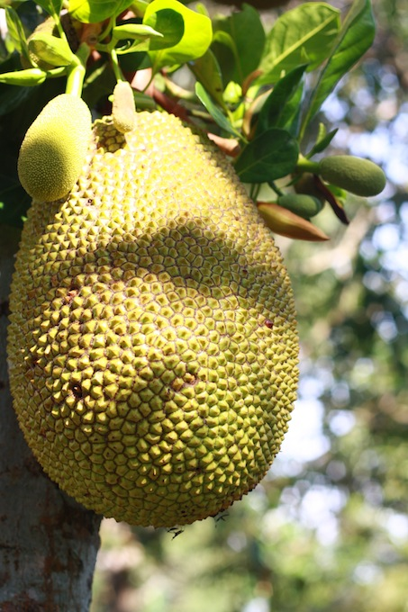 difference between jackfruit and cempedak?