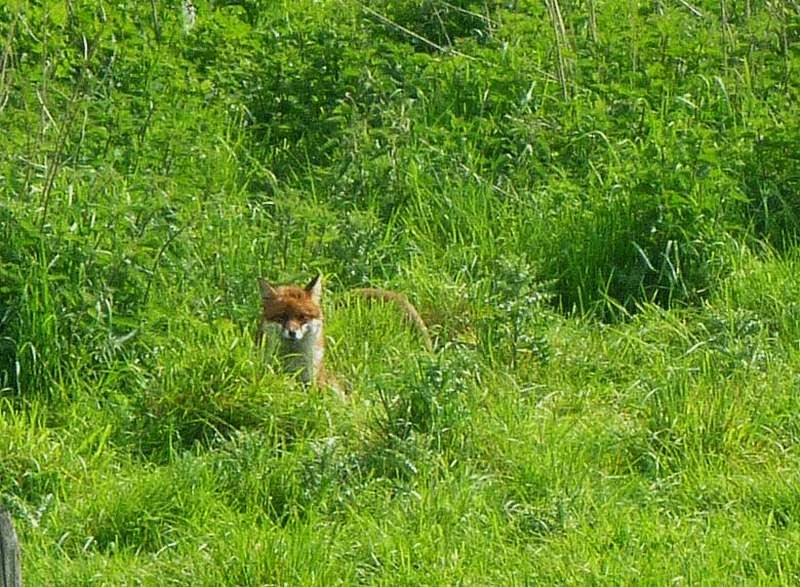 Mother fox and kits along Kennet and Avon Canal