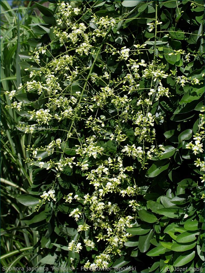 Sophora japonica inflorescences - Perełkowiec japoński kwiatostany