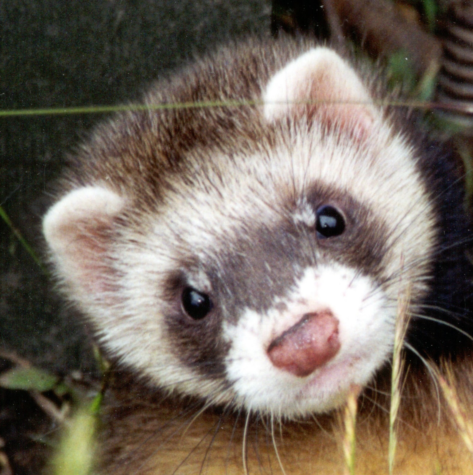 Animals And Birds: Ferret Info& Images 2011