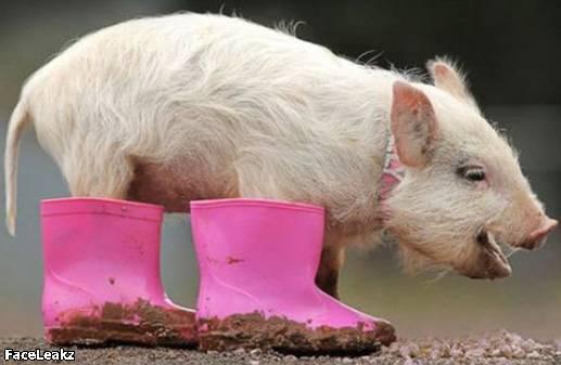 21 Foto Yang Harus Anda Lihat Setelah 21 Mei 2011 Berlalu - 8. Seekor babi memakai sepatu boot warna pink