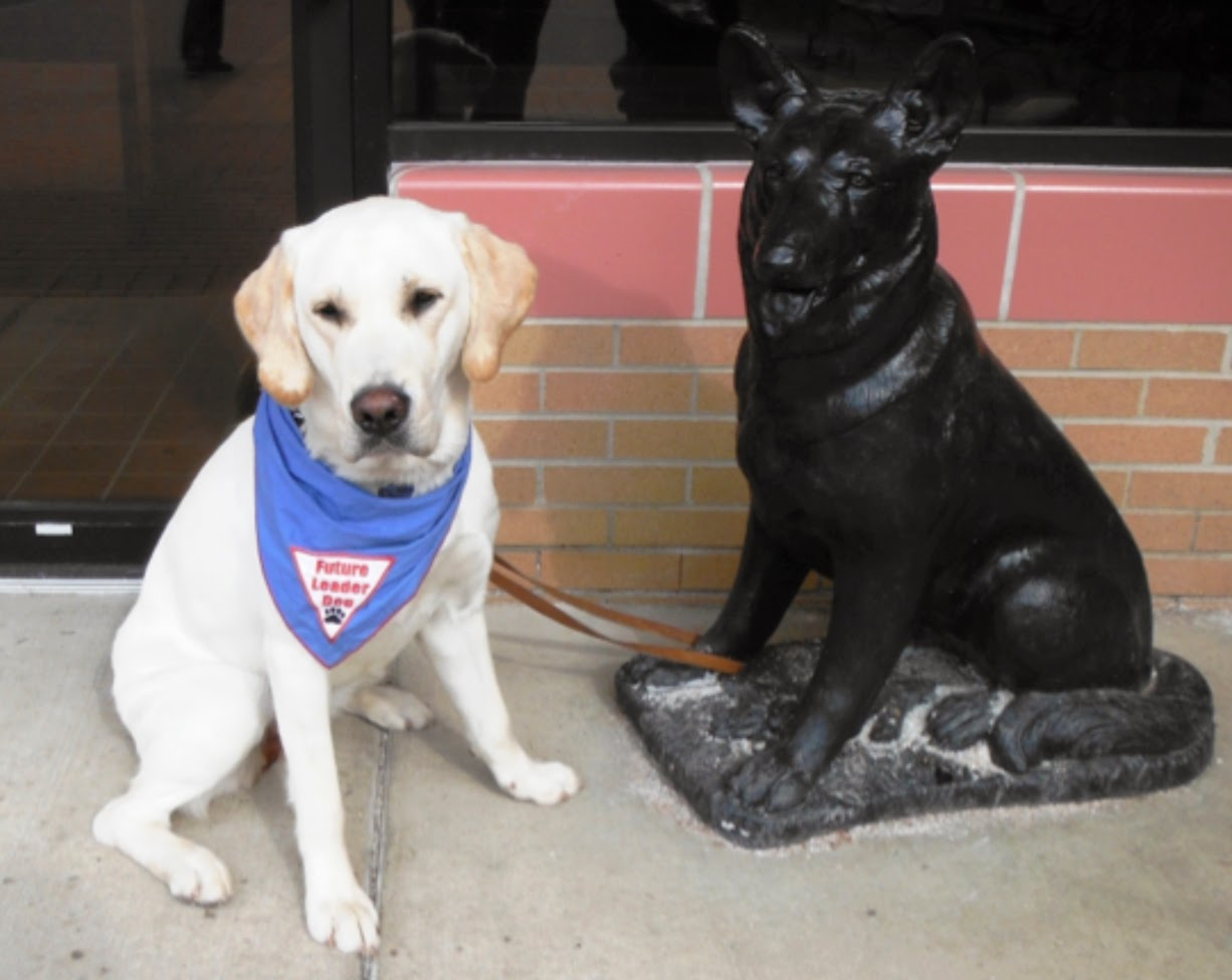 A yellow lab is now sitting on the left side, next to the german sheperd statue. Her leash is also looped around the leg of the statue and she is wearing the blue Future Leader Dog bandana and looking at the camera.