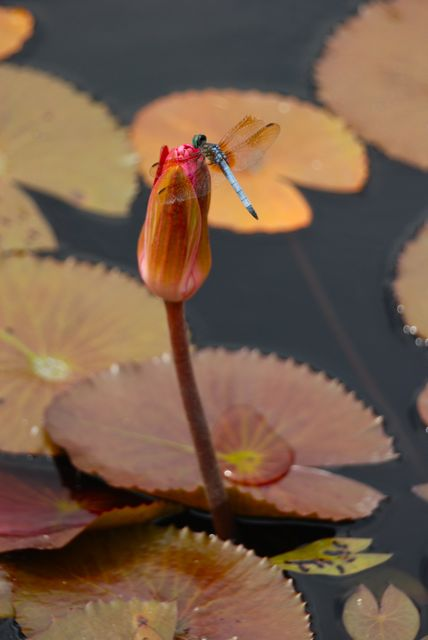 Blue dragonfly on a pink waterlily flower.