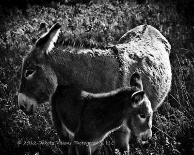 Feral Burros in Custer State Park Black Hills by Dakota Visions Photography LLC www.dakotavisions.com