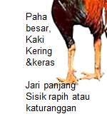 ciri ayam bangkok aduan bagian kaki
