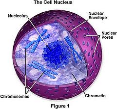gambar nukleus atau inti sel