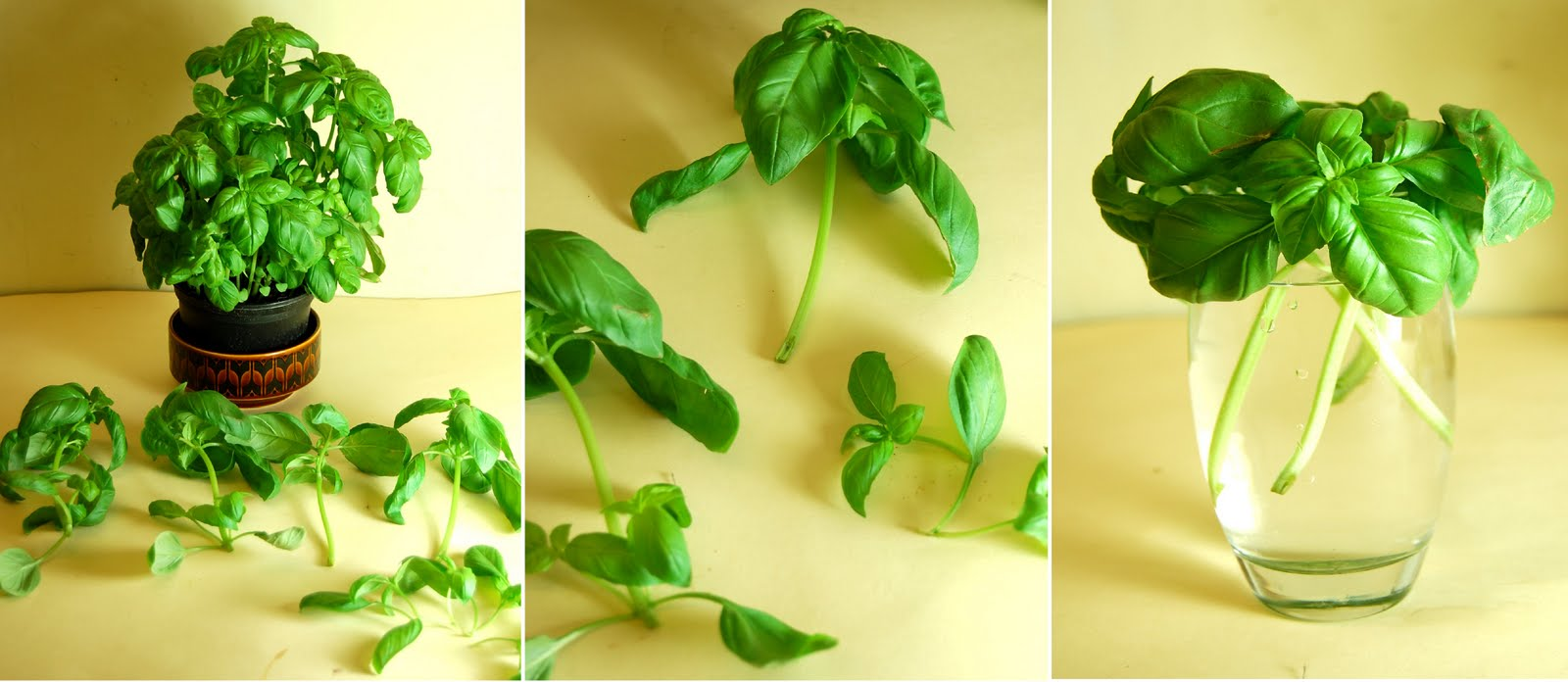 The Urban Gardener: Basil plants from cuttings