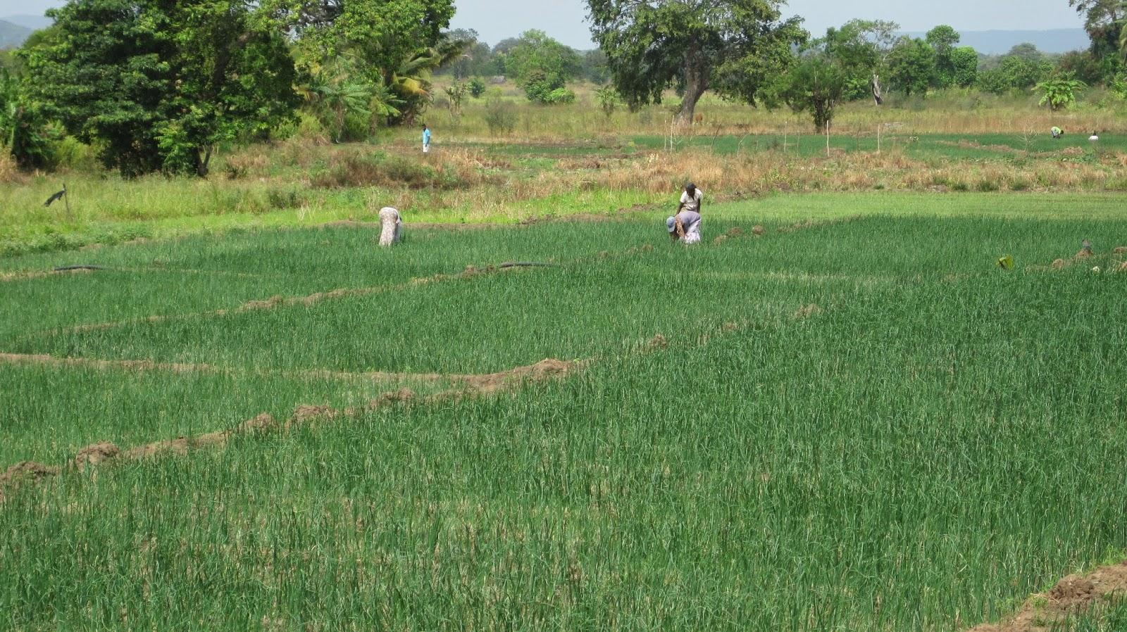Campos de arroz (Sri Lanka)