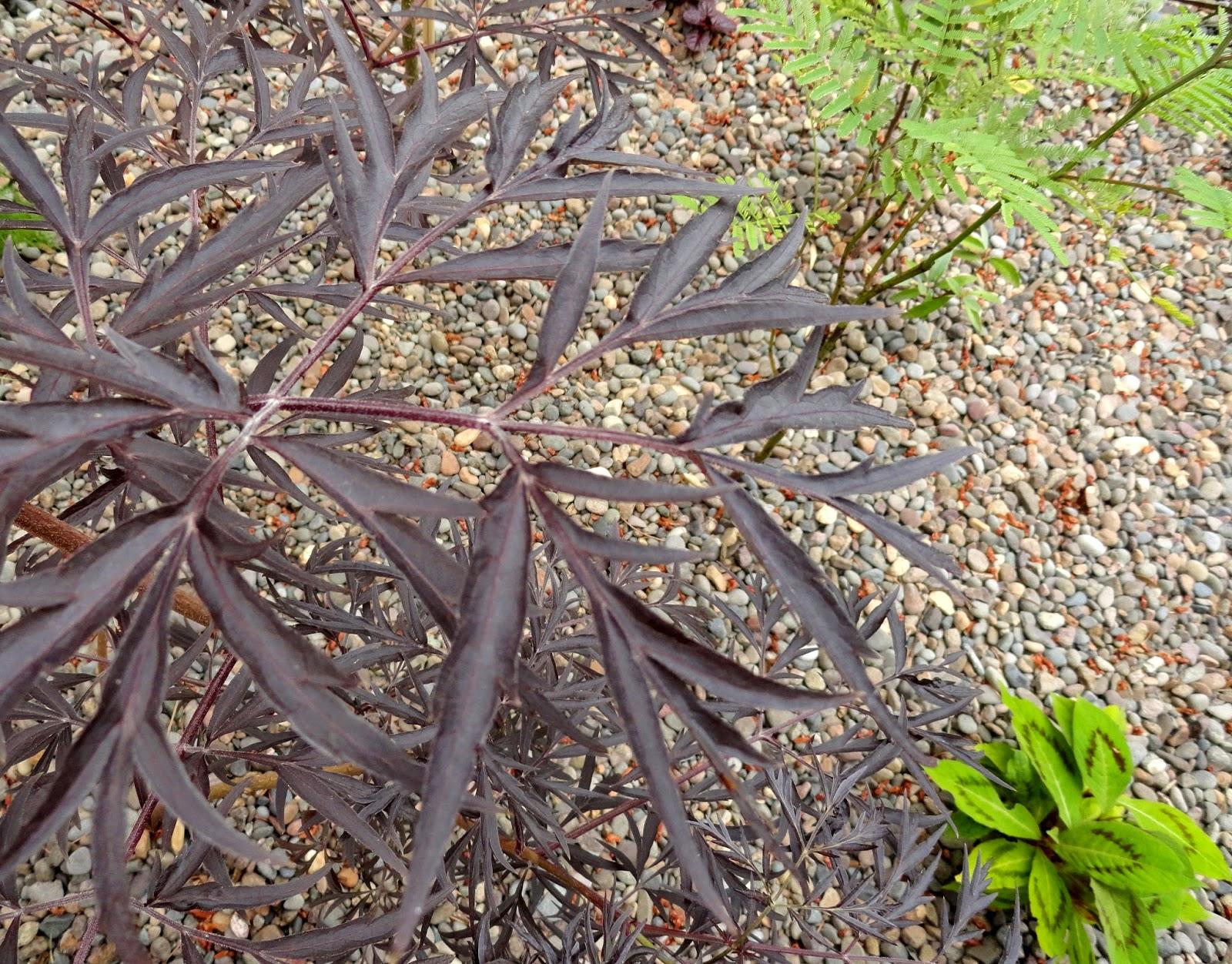 danger garden dark and handsome for foliage follow up. Black Bedroom Furniture Sets. Home Design Ideas