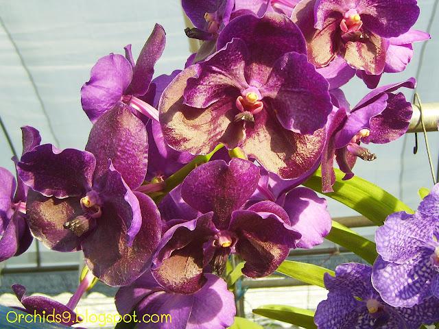 http://3.bp.blogspot.com/-0hQajDnsWnQ/Tw7jrNMo9uI/AAAAAAAABck/TpE_CYJTuKA/s1600/Vanda+bangkok+blue+Orchid+Flowers+Pictures+93.JPG