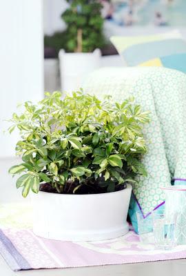 El blog de los penotes plantas schefflera.7