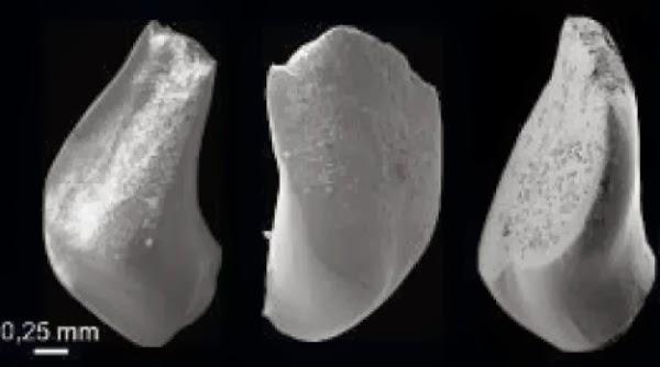Fosil ikan mas tertua