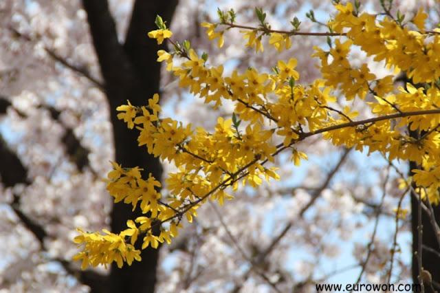 Flor de kaenari coreano