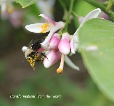 honey bee on lemon tree