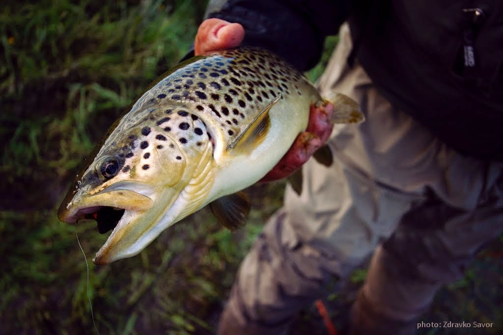Gacka Brown Trout