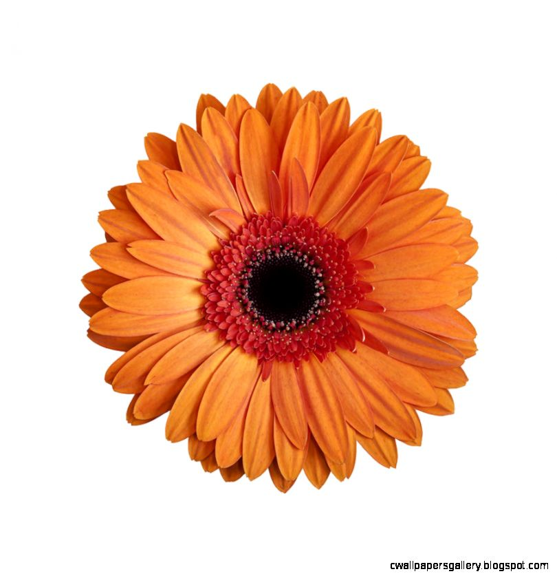 Orange Gerbera Daisy On White Background Photograph by Zoe Ferrie