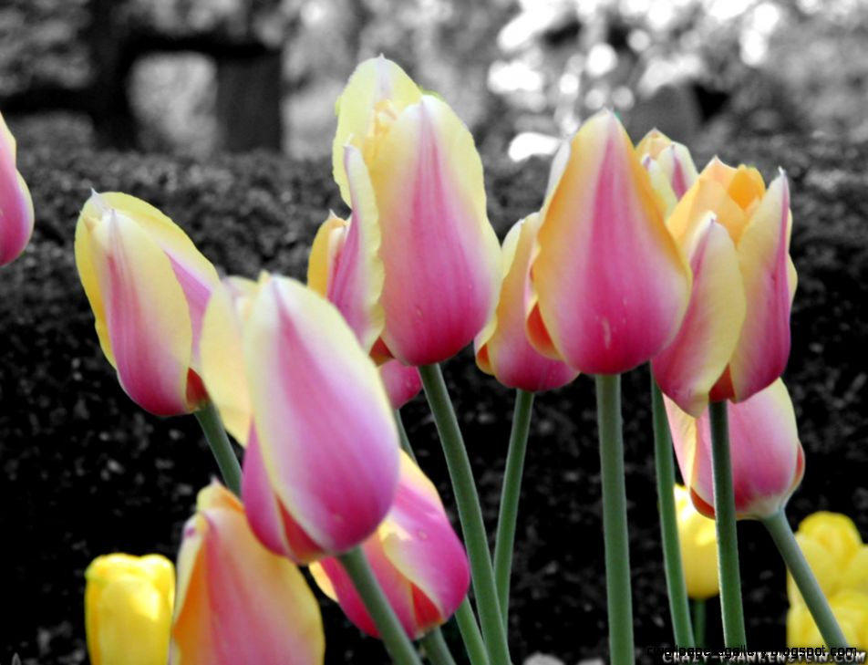 Spring Pink and Yellow Tulips wallpaper – wallpaper free download