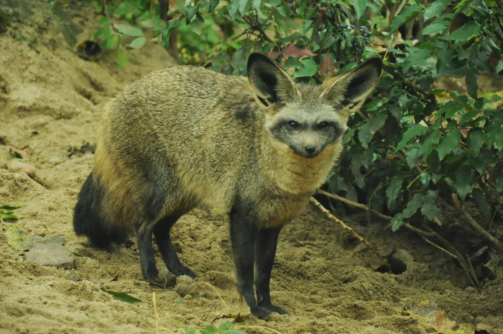 Bat eared fox - photo#1