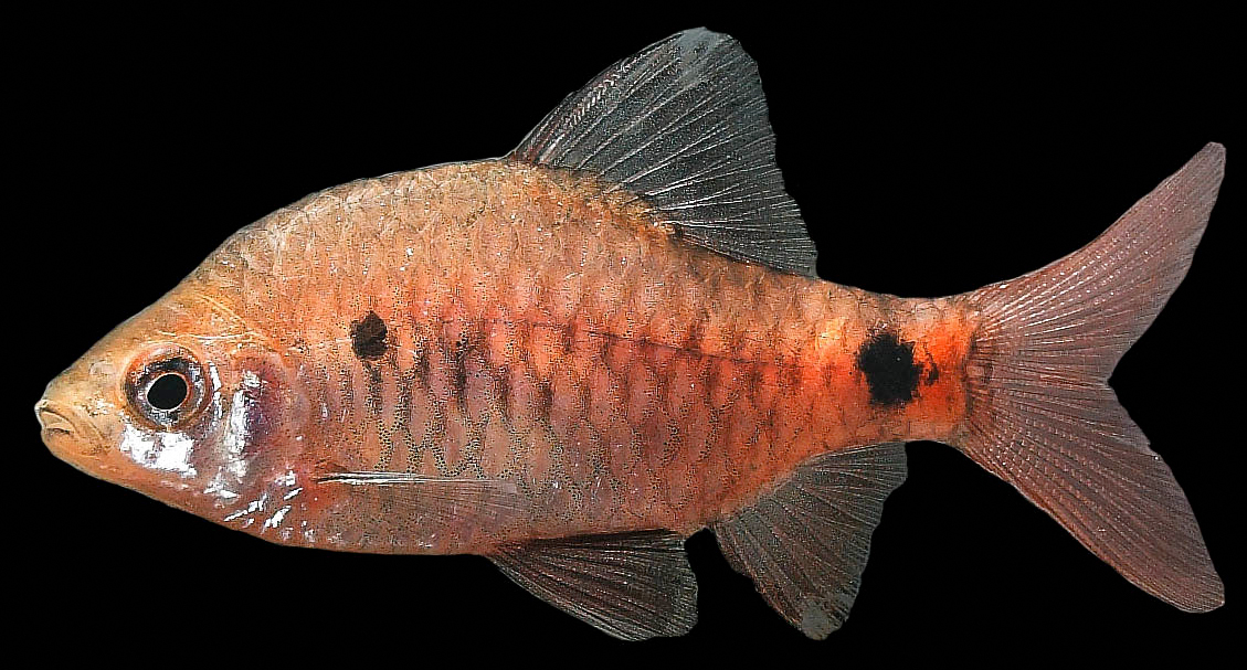 Sciency Thoughts: A new species of Spotted Barb from the southern ...