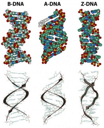Different forms of DNA ~ Biology Exams 4 U