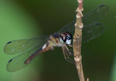 Orchithemis pulcherrima dark m