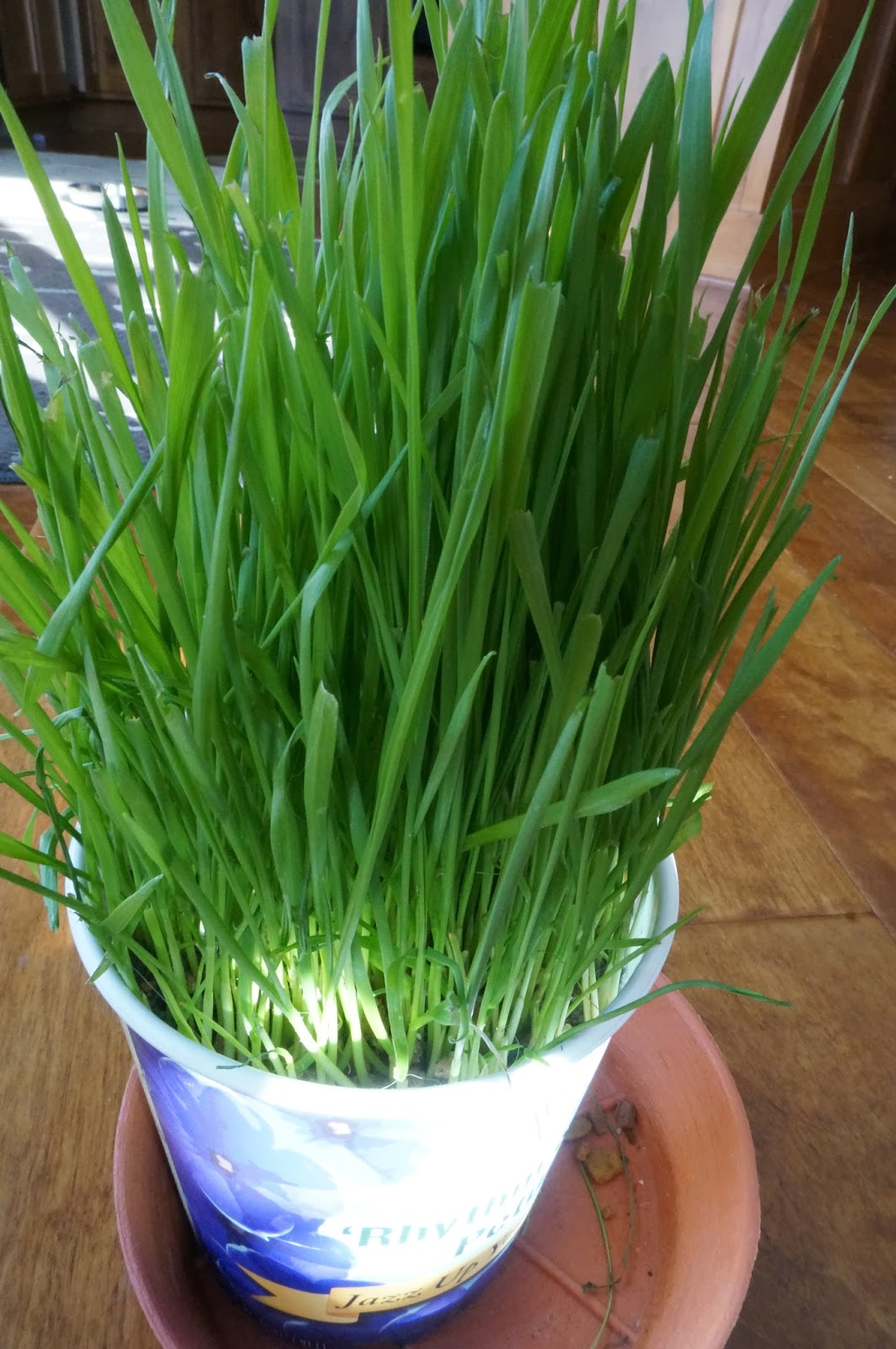 wheat grass growing in pot
