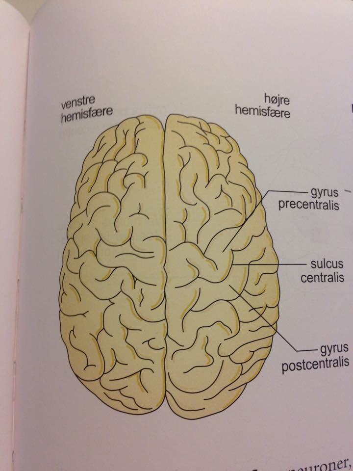 højre og venstre hemisfære