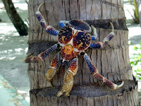 Crabe Coco